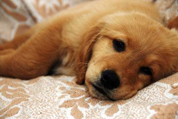 ¡Tenga cuidado!  Parvovirus en cachorros: causas, síntomas y tratamiento