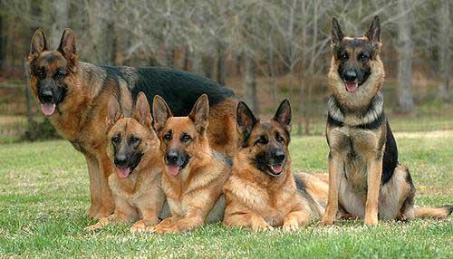 ¿Cómo cuidar a un perro pastor alemán?