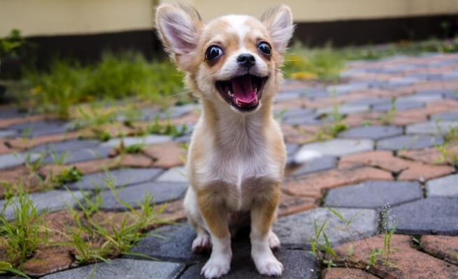 Las 8 mejores razas de perros pequeños que brindan la mejor experiencia de crianza de perros