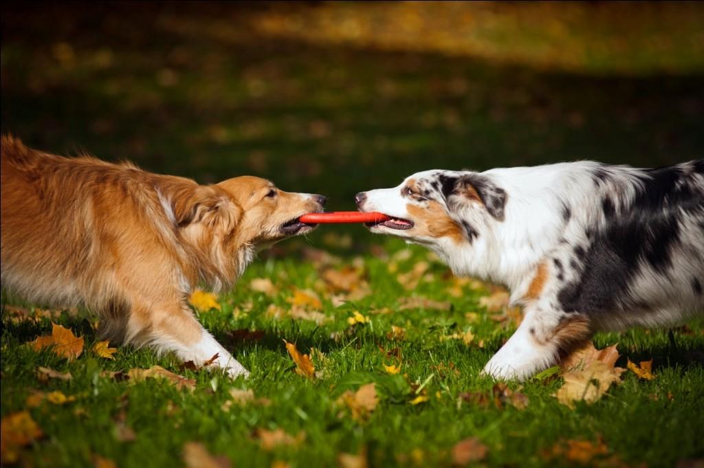 Los mejores juguetes indestructibles para perros: ¡jugando duro!