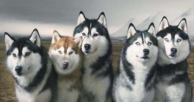 Pautas de alimentación del husky siberiano