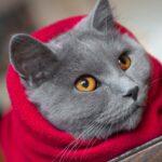 ¿Tienen menstruaciones las gatas?  ¿Cuáles son los signos?
