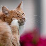 Infestación por pulgas en gatos: síntomas, causas y tratamientos