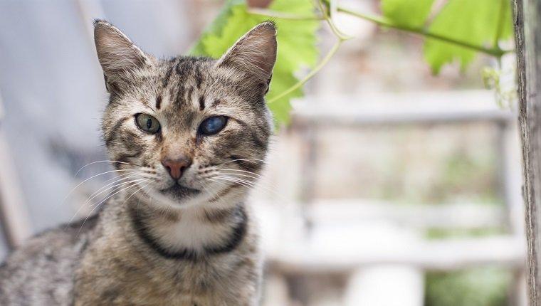 Gato atigrado con ojo enfermo.