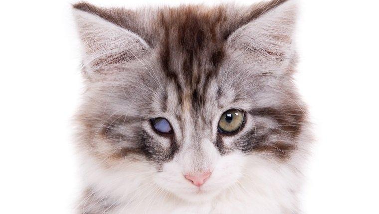Retrato de un gatito con un ojo ciego. Fondo blanco. Composición cuadrada. (1x1)