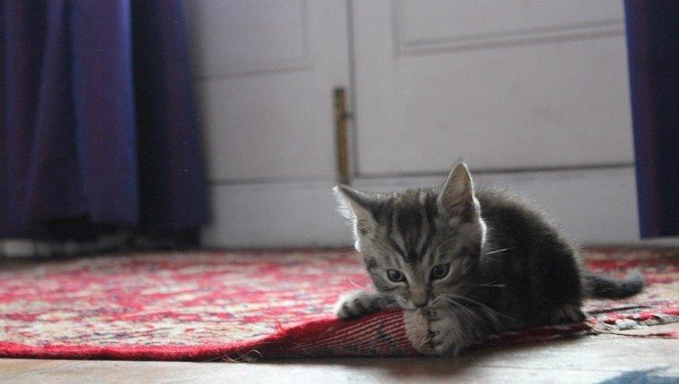 Primer plano de gatito mordiendo la alfombra en casa