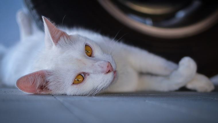 Retrato de gato blanco acostado contra los neumáticos en el garaje
