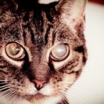 Cataratas en gatos: síntomas, causas y tratamientos